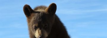 Watch this curious cub trash a camp site!  [Video]