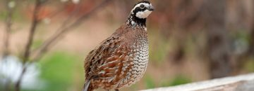 The silent song of the Bobwhite!