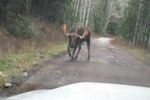 [Video] A Bull Moose Had Enough Harassment By Two Idiots & Decides To Teach Them A Lesson