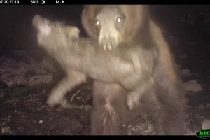 [Caught On Trail Camera] A Hungry Black Bear Catches Wild Pig On The Tejon Ranch