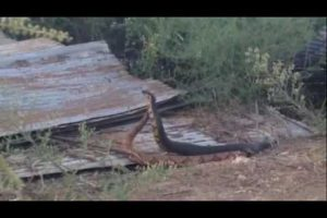 [VIDEO] Watch As A Cottonmouth & Copperhead Duke It Out