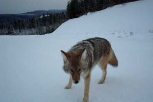 [VIDEO] This Is What Happens When An Idiot Antagonizes A Coyote