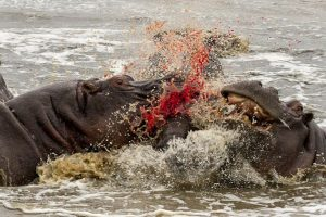 When A Hippo Attacks...Get Out Of The Way As Fast As You Can