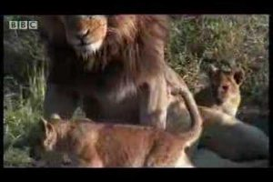 When Lion Cubs Meet Their Dad For The First Time It Almost Goes Sideways