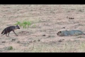 Fatal Mistake Or Death Wish: Hyena Walks Right Into A Pride Of Lions