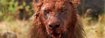 [Graphic] While Hunting For Lions...Poacher Gets Eaten By Them Instead