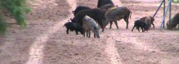 Awesome Video Shows Feral Hog Hunting In Texas