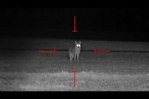 Awesome Video Of Hunting Coyotes At Night