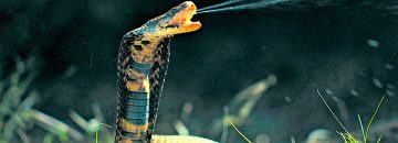 The Top Ten Most Venomous Snakes In The World