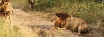 "[Viewer Discretion Advised] Death Of A Legend: Mapogos Lion ""Mr. T"" Dies In A Bloody Battle"