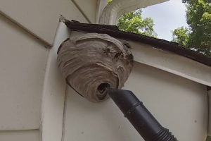 Would You Want This Job: Removing A Bald-Faced Hornet Nest From Under A House Overhang