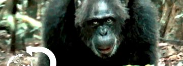 [Video] The Most Brutal Chimpanzee Society Ever Discovered