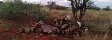 Watch As African Dogs Kill An Oryx [Not For Sensitive Viewers]
