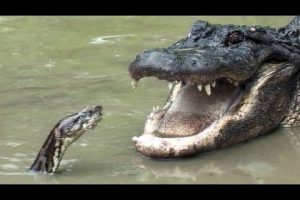 Alligator & Python Face-Off In A Death Match Who Will Win...Look Here To Find Out