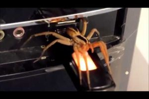 Holy Moly...Check Out This Giant Texas Wolf Spider