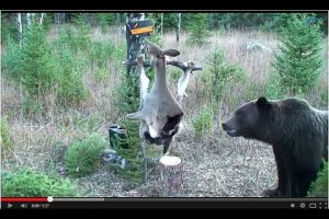 This Is Something You Just HAVE TO SEE: An Electrified Deer Carcass vs A Curious (and hungry) Grizzly Bear