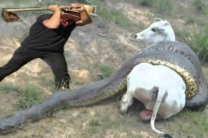 Watch As Villagers Try To Protect Pregnant Cow From A Hungry Anaconda In A Viral Video
