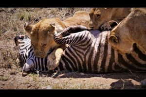 This Is NOT For The Faint Of Heart: The Video Below Graphically Illustrates Why Lions Are Truly Apex Predators