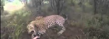 [Warning Graphic Video] When Hunting Leopards There's NO PLACE FOR AMATEURS