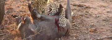 'Real Life' Isn't Like A Disney Cartoon...The Warthog Just Keeps Screaming As The Leopard Starts Eating