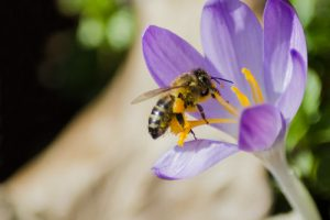 What can you do to help save the honey bees?